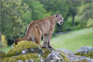 mountain-lion-characteristics-480