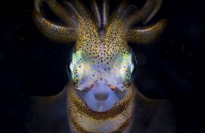 The alien-looking southern calamari squid is native to Australian and New Zealand coastlines. Its dot painting-like skin patterns are reminiscent of ancient Aboriginal paintings. It took me several weeks of night dives and patience to achieve this unique portrait: when I shot this frame I was elated!!
